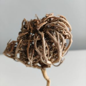 Rose de Jericho - Chajarat Maryam